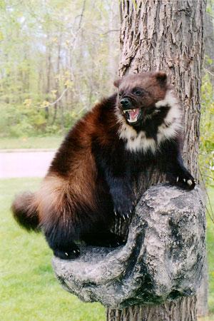 Alaskan Quest Wolverine Mounts